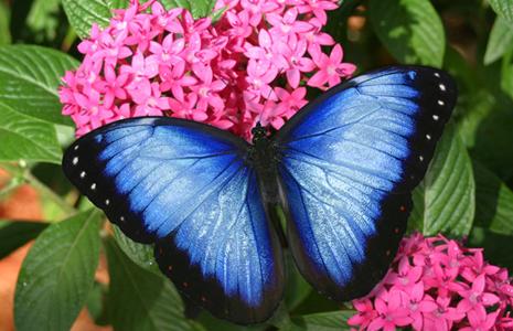 http://www.dharmaflix.com/w/images/9/9f/BlueMorpho.jpg